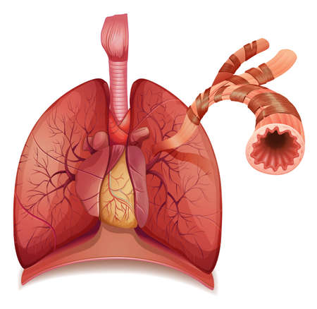 lung bronchus: Illustration of human lungs and bronchus