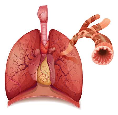 Ilustración de los pulmones y bronquios humanos Ilustración de vector