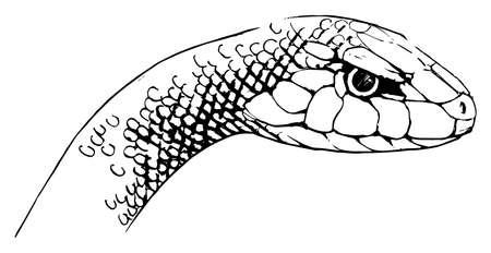 slither: Illustration of Oxyupanus microlepidotus - Inland Taipan