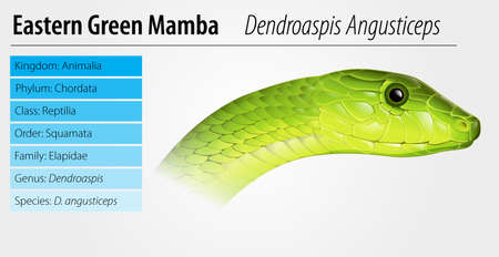 herpetology: Dendroaspis angusticeps - Eastern Green Mamaba