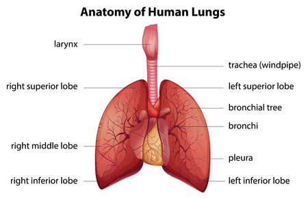 lung bronchus: Illustration of the human respiratory system