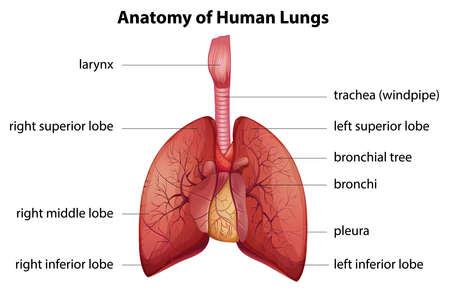 aparato respiratorio: Ilustración del sistema respiratorio humano Vectores
