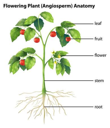 raíz de planta: Ilustración que muestra las partes de una planta de tomate