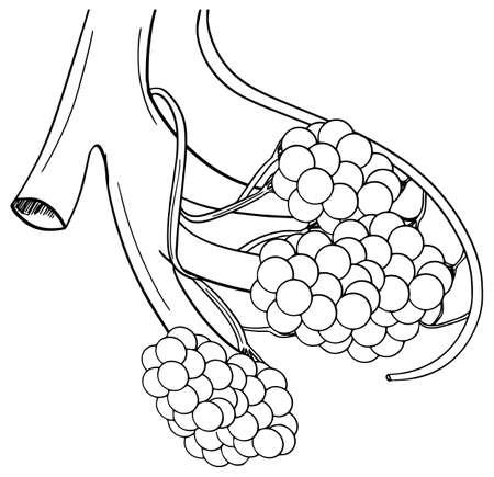 alveolus: Illustration of human alveoli structure Illustration
