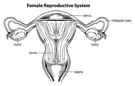 hüvely: Illusztráció a női reproduktív rendszer Illusztráció