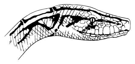 Illustration of Python molurus - Indian python Stock Vector - 16988031