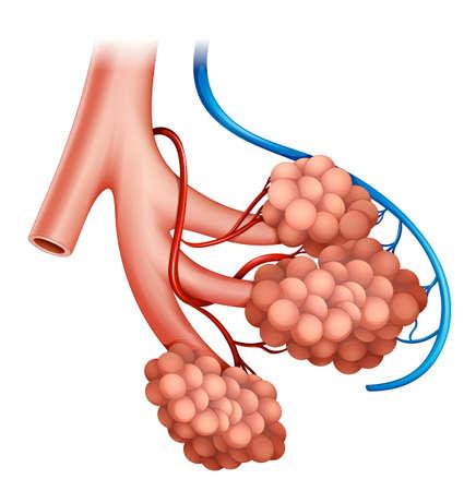 Ilustración de la estructura humana alvéolos