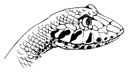 adder: Illustration of Acanthophis - Common death adder Illustration
