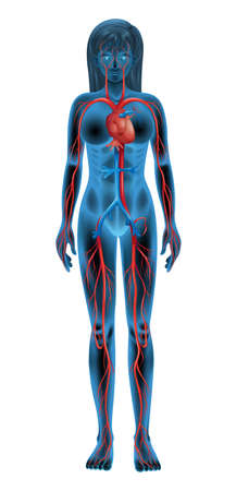 blood circulation: Illustration of the circulatory system Illustration
