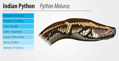 python: Illustration of Python molurus - Indian python Illustration