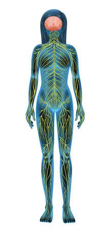정면: 인간의 신경계의 그림