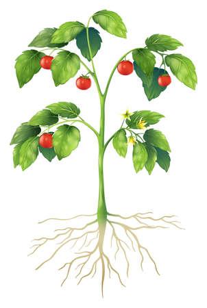 Ilustración que muestra las partes de una planta de tomate
