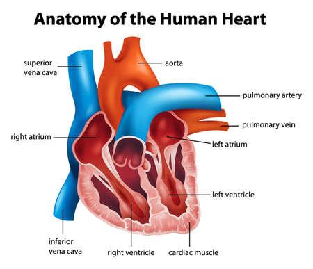 cutaway drawing: Anatomia del cuore umano, illustrazione Vettoriali