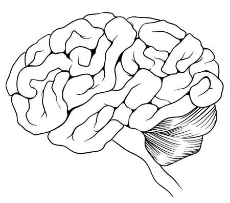 anatomy brain: An illustration of the human brain Illustration