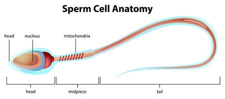 Illustartion showing the structure of a sperm cell Stock Vector - 16988047