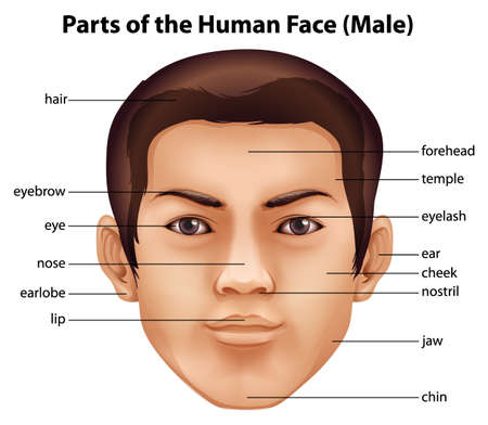 nostrils: Illustration of the features of a human face