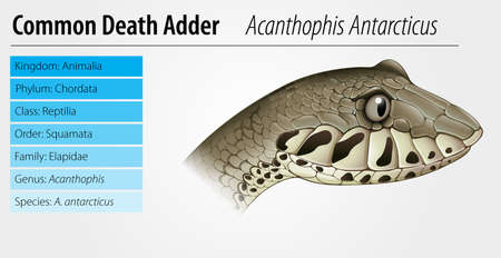 Illustration of Acanthophis - Common death adder Stock Vector - 16988187