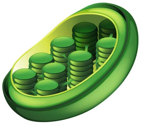 chloroplast: Illustration of a chloroplast Illustration