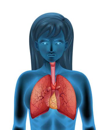 bronchi: Illustration of the human respiratory system