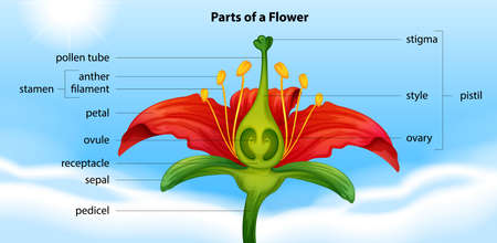 filament: Illustration showing the anatomy of a flower Illustration