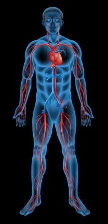 esqueleto humano: Ilustraci?n del sistema circulatorio