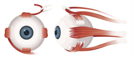 cornea: Illustrazione di un occhio umano su uno sfondo bianco