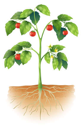 plant science: Illustration showing the parts of a tomato plant