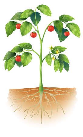 planta con raiz: Ilustraci?n que muestra las partes de una planta de tomate Vectores