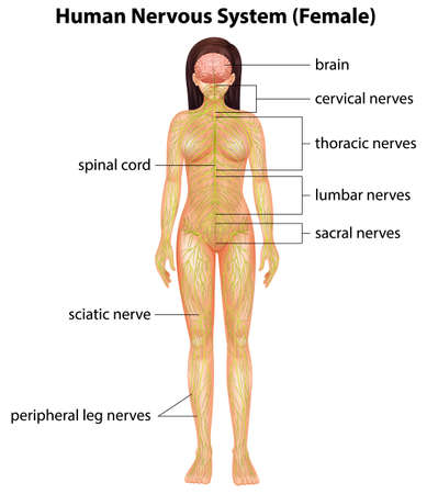 frontal view: Illustration of the human nervous system Illustration