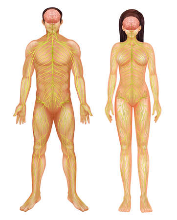 Illustratie van het menselijk zenuwstelsel Stock Illustratie