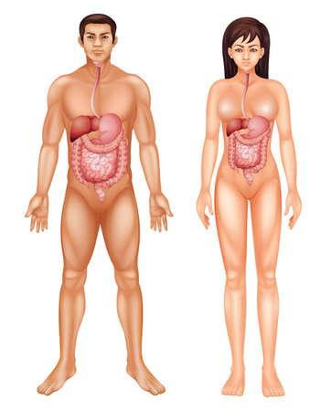 esófago: Ilustración del sistema digestivo humano