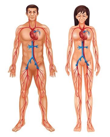 Illustratie van de bloedsomloop
