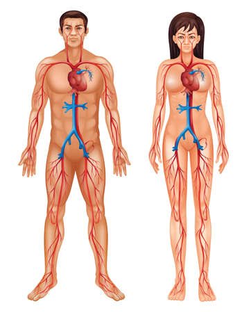 corpo umano: Illustrazione del sistema circolatorio Vettoriali