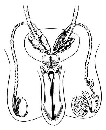 uretra: Esquema del sistema reproductor masculino