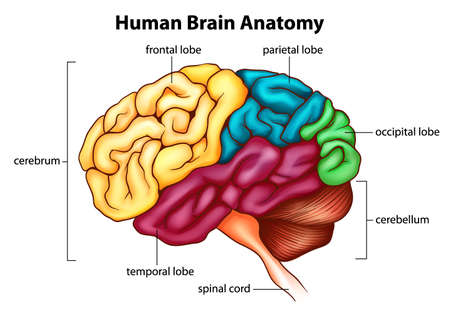 brain stem: An illustration of the human brain Illustration