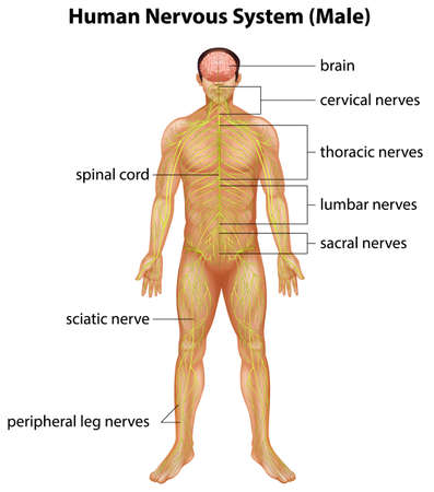 neurological: Illustration of the human nervous system Illustration
