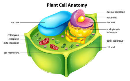 vesicles: Illustration showing the plant cell anatomy