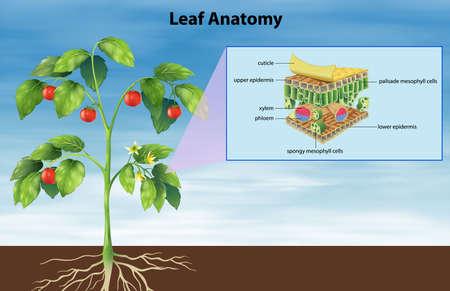 stoma: Illustrazione di anatomia di una foglia