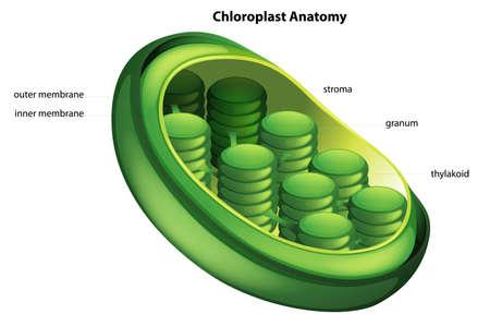 Illustration showing the chloroplast anatomy Vector