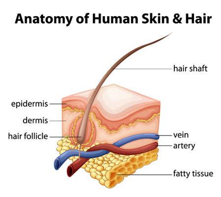 partes del cuerpo humano: Ilustración de la anatomía de la piel humana y el cabello Vectores