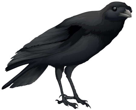 northwestern: Illustration showing a black crow Illustration