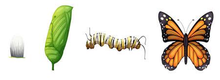 bruchi: Illustrazione che mostra il ciclo di vita di una farfalla monarca Vettoriali