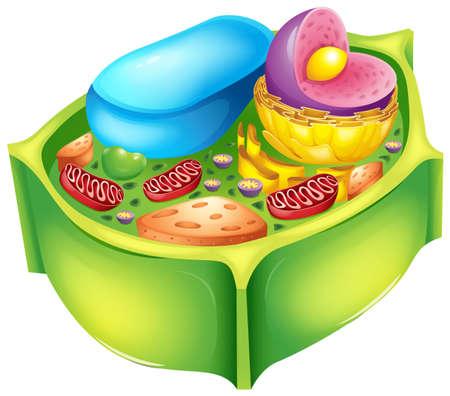 membrana cellulare: Illustrazione di una cellula vegetale Vettoriali
