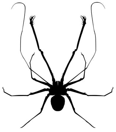 rump: Illustration of a whip spider