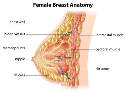 female breast: Illustration showing the female breast anatomy