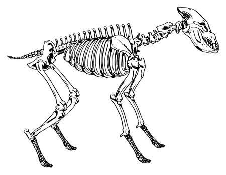 척수: Illustration showing the skeleton of a hyena 일러스트