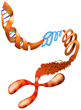 Illustratie die de DNA-chromosoom