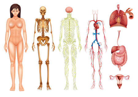 nervous: Illustration of various human body systems and organs Illustration