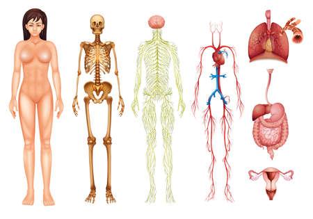 Ilustración de varios sistemas del cuerpo humano y los órganos Ilustración de vector
