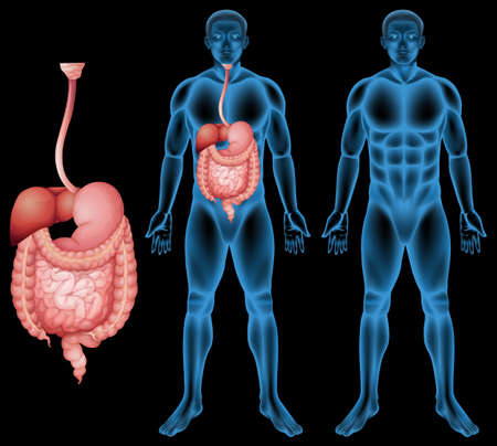 colon: Illustration of the human digestive system